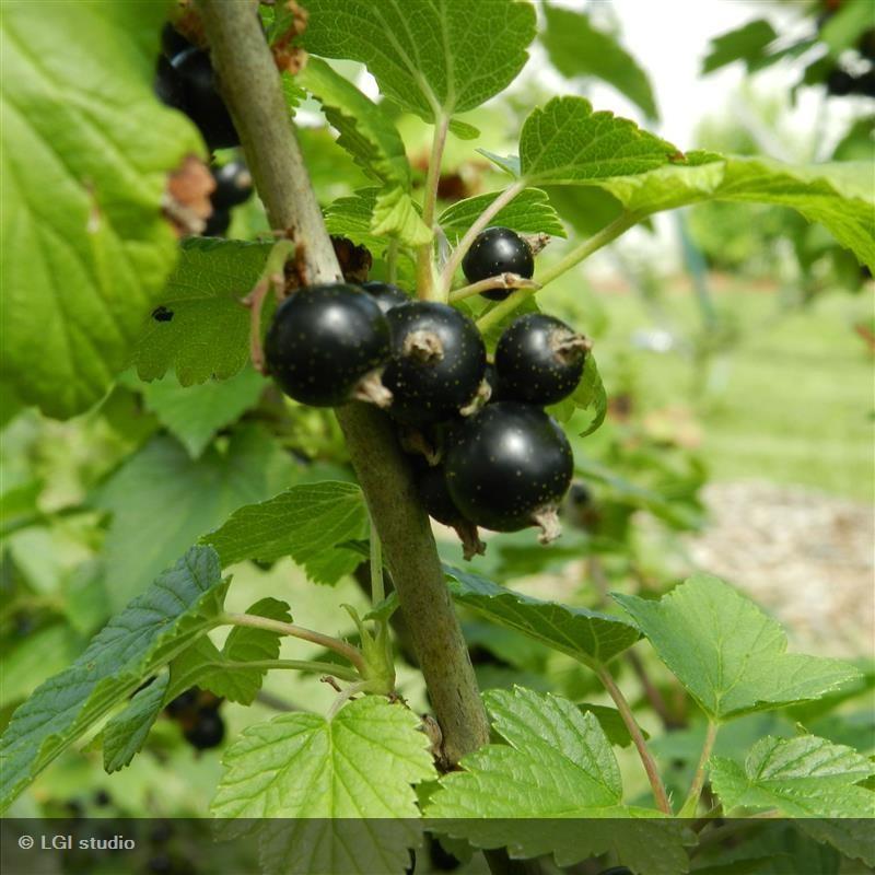 CASSISSIER Noir de bourgogne