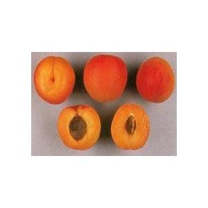 ABRICOTIER Orangered
