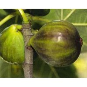 FIGUIER Dauphine (figue fleur, grise de tar