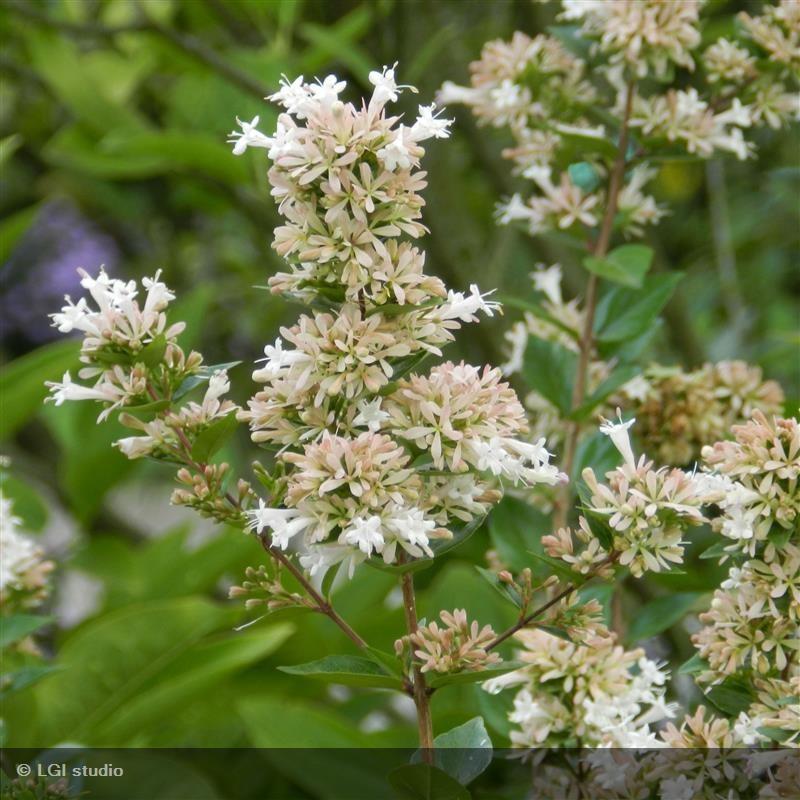 Abelia Chinensis Frédéric Cochet