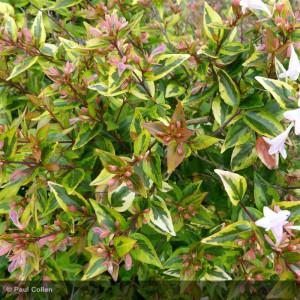 ABELIA x grandiflora Francis masson