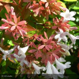 ABELIA x grandiflora Kaleidoscope