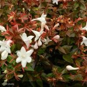 ABELIA x grandiflora Prostrata