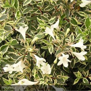ABELIA x grandiflora Variegata
